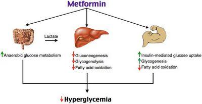 Metformin | Pharmacology nursing ...